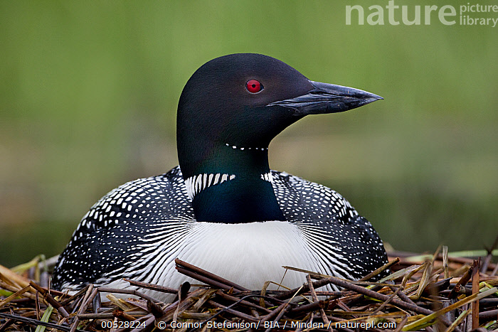 Common Loon (Gavia immer) on nest, British Columbia, Canada  ,  Adult, British Columbia, Canada, Color Image, Common Loon, Day, Front View, Full Length, Gavia immer, Horizontal, Nest, Nobody, One Animal, Outdoors, Parent, Photography, Water Bird, Wildlife,Common Loon,Canada  ,  Connor Stefanison