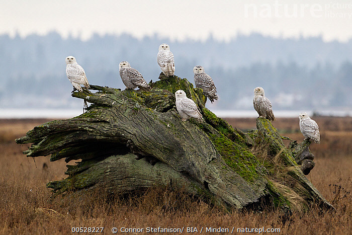 Snowy Owl (Nyctea scandiaca) flock on driftwood, British Columbia, Canada  ,  Adult, Animal in Habitat, British Columbia, Canada, Color Image, Day, Driftwood, Full Length, Horizontal, Medium Group of Animals, Nobody, Nyctea scandiaca, Outdoors, Owl, Photography, Raptor, Side View, Snowy Owl, Wildlife,Snowy Owl,Canada  ,  Connor Stefanison