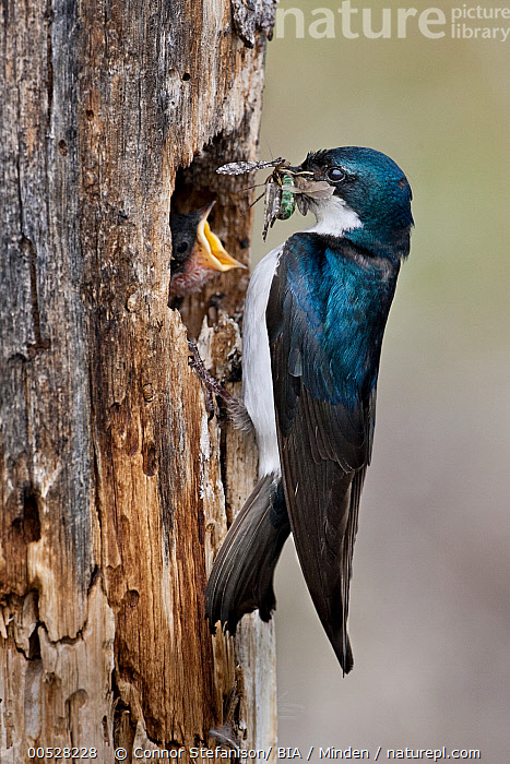 Tree Swallow (Tachycineta bicolor) feeding insects to chick at nest hole, British Columbia, Canada  ,  Adult, Begging, British Columbia, Canada, Carrying, Chick, Color Image, Day, Full Length, Insect, Nest Hole, Nobody, Outdoors, Photography, Prey, Side View, Songbird, Tachycineta bicolor, Togetherness, Tree Swallow, Two Animals, Vertical, Wildlife,Tree Swallow,Canada  ,  Connor Stefanison