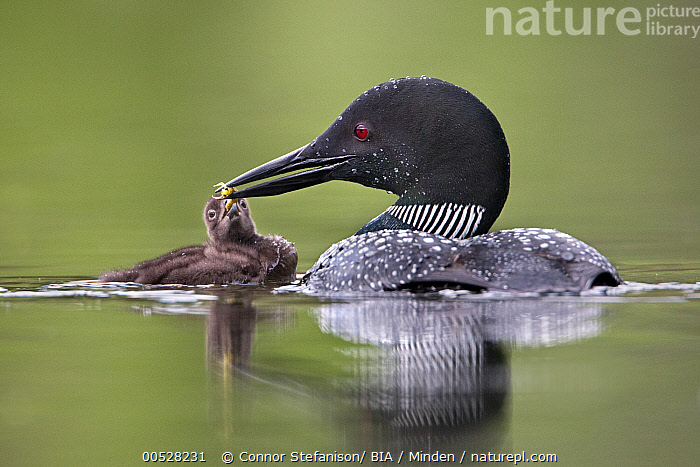 Common Loon (Gavia immer) feeding chick, British Columbia, Canada  ,  Adult, Breeding Plumage, British Columbia, Canada, Chick, Color Image, Common Loon, Day, Feeding, Full Length, Gavia immer, Horizontal, Nobody, Outdoors, Parent, Photography, Sharing, Side View, Togetherness, Two Animals, Water Bird, Wildlife,Common Loon,Canada  ,  Connor Stefanison