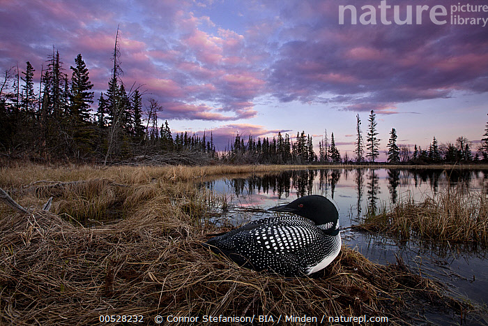 Common Loon (Gavia immer) on nest in bog, British Columbia, Canada  ,  Adult, Animal in Habitat, British Columbia, Canada, Color Image, Common Loon, Day, Full Length, Gavia immer, Horizontal, Nest, Nobody, One Animal, Outdoors, Photography, Side View, Water Bird, Wildlife,Common Loon,Canada  ,  Connor Stefanison