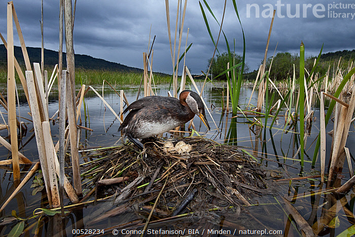 Red-necked Grebe (Podiceps grisegena) at nest in swamp, British Columbia, Canada  ,  Adult, Animal in Habitat, British Columbia, Canada, Color Image, Day, Egg, Full Length, Horizontal, Nest, Nobody, One Animal, Outdoors, Parent, Photography, Podiceps grisegena, Red-necked Grebe, Side View, Water Bird, Wildlife,Red-necked Grebe,Canada  ,  Connor Stefanison