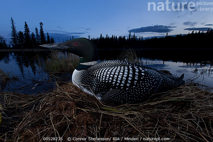 Common Loon (Gavia immer) on nest, British Columbia, Canada  ,  Adult, Animal in Habitat, British Columbia, Canada, Color Image, Common Loon, Day, Full Length, Gavia immer, Horizontal, Nest, Nobody, One Animal, Outdoors, Photography, Side View, Water Bird, Wildlife,Common Loon,Canada  ,  Connor Stefanison