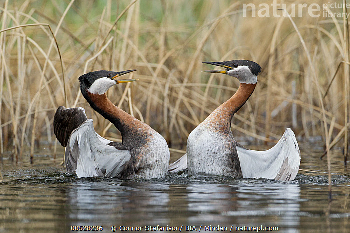 Red-necked Grebe (Podiceps grisegena) pair fighting, British Columbia, Canada  ,  Adult, British Columbia, Canada, Color Image, Competition, Day, Facing, Fighting, Full Length, Horizontal, Nobody, Outdoors, Pair, Photography, Podiceps grisegena, Red-necked Grebe, Rivalry, Side View, Symmetry, Togetherness, Two Animals, Water Bird, Wildlife,Red-necked Grebe,Canada  ,  Connor Stefanison