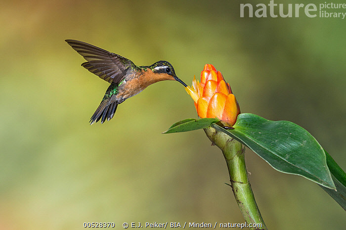 Purple-throated Mountain-gem (Lampornis calolaemus) female feeding on nectar at flower, Costa Rica  ,  Adult, Color Image, Costa Rica, Day, Feeding, Female, Flower, Full Length, Horizontal, Lampornis calolaemus, Motion, Nectar, Nobody, One Animal, Outdoors, Photography, Purple-throated Mountain-gem, Side View, Wildlife,Purple-throated Mountain-gem,Costa Rica,Adult, Color Image, Costa Rica, Day, Feeding, Female, Flower, Full Length, Horizontal, Lampornis calolaemus, Motion, Nectar, Nobody, One Animal, Outdoors, Photography, Purple-throated Mountain-gem, Side View, Wildlife  ,  E.J. Peiker
