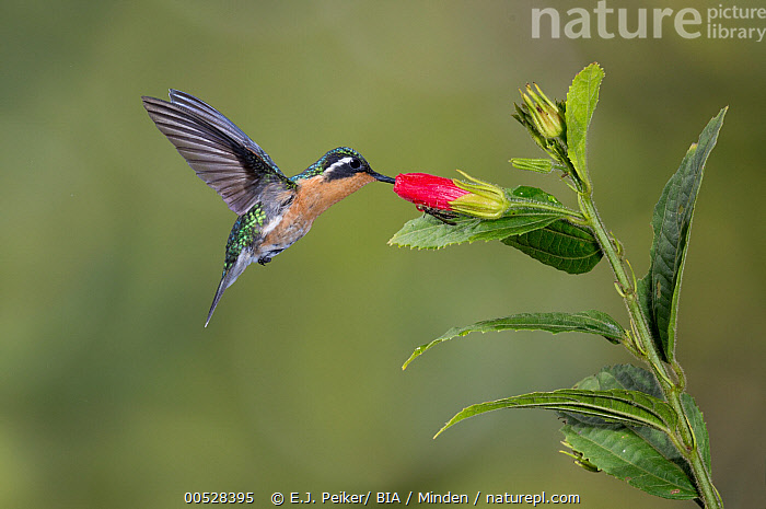 Purple-throated Mountain-gem (Lampornis calolaemus) female feeding on nectar, Costa Rica, Adult, Color Image, Costa Rica, Day, Feeding, Female, Flower, Full Length, Horizontal, Lampornis calolaemus, Motion, Nectar, Nobody, One Animal, Outdoors, Photography, Purple-throated Mountain-gem, Side View, Wildlife,Purple-throated Mountain-gem,Costa Rica, E.J. Peiker
