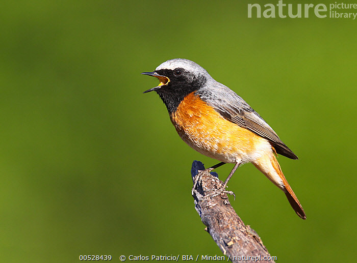 Common Redstart (Phoenicurus phoenicurus) calling male, Portugal  ,  Adult, Calling, Color Image, Common Redstart, Day, Full Length, Horizontal, Male, Nobody, One Animal, Outdoors, Phoenicurus phoenicurus, Photography, Portugal, Side View, Songbird, Wildlife,Common Redstart,Portugal  ,  Carlos Patricio