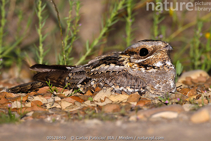 Red-necked Nightjar (Caprimulgus ruficollis), Abrantes, Portugal  ,  Abrantes, Adult, Camouflage, Caprimulgus ruficollis, Color Image, Day, Full Length, Horizontal, Nobody, One Animal, Outdoors, Photography, Portugal, Red-necked Nightjar, Side View, Wildlife,Red-necked Nightjar,Portugal  ,  Carlos Patricio