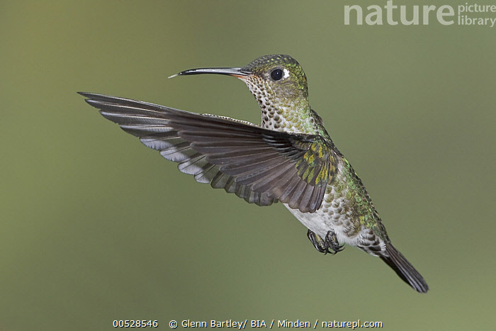 Many-spotted Hummingbird (Taphrospilus hypostictus), Ecuador  ,  Adult, Color Image, Day, Ecuador, Full Length, High Speed, Horizontal, Hovering, Many-spotted Hummingbird, Motion, Nobody, One Animal, Outdoors, Photography, Side View, Taphrospilus hypostictus, Wildlife,Many-spotted Hummingbird,Ecuador,Adult, Color Image, Day, Ecuador, Full Length, High Speed, Horizontal, Hovering, Many-spotted Hummingbird, Motion, Nobody, One Animal, Outdoors, Photography, Side View, Taphrospilus hypostictus, Wildlife  ,  Glenn Bartley