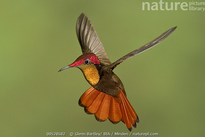 Ruby-topaz Hummingbird (Chrysolampis mosquitus) male hovering, Trinidad and Tobago  ,  Adult, Chrysolampis mosquitus, Color Image, Day, Full Length, Horizontal, Hovering, Male, Motion, Nobody, One Animal, Outdoors, Photography, Ruby-topaz Hummingbird, Side View, Trinidad and Tobago, Wildlife,Ruby-topaz Hummingbird,Trinidad and Tobago,Adult, Chrysolampis mosquitus, Color Image, Day, Full Length, Horizontal, Hovering, Male, Motion, Nobody, One Animal, Outdoors, Photography, Ruby-topaz Hummingbird, Side View, Trinidad and Tobago, Wildlife  ,  Glenn Bartley