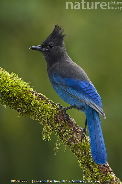 Steller's Jay (Cyanocitta stelleri), British Columbia, Canada  ,  Adult, British Columbia, Canada, Color Image, Cyanocitta stelleri, Day, Full Length, Nobody, One Animal, Outdoors, Photography, Side View, Songbird, Steller's Jay, Vertical, Wildlife,Steller's Jay,Canada,Adult, British Columbia, Canada, Color Image, Cyanocitta stelleri, Day, Full Length, Nobody, One Animal, Outdoors, Photography, Side View, Songbird, Steller's Jay, Vertical, Wildlife  ,  Glenn Bartley