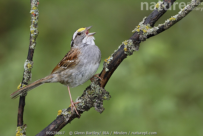 White-throated Sparrow (Zonotrichia albicollis) singing, Manitoba, Canada  ,  Adult, Canada, Color Image, Day, Full Length, Horizontal, Manitoba, Nobody, One Animal, Outdoors, Photography, Side View, Singing, Songbird, White-throated Sparrow, Wildlife, Zonotrichia albicollis,White-throated Sparrow,Canada,Adult, Canada, Color Image, Day, Full Length, Horizontal, Manitoba, Nobody, One Animal, Outdoors, Photography, Side View, Singing, Songbird, White-throated Sparrow, Wildlife, Zonotrichia albicollis  ,  Glenn Bartley