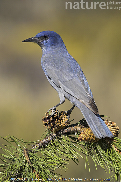 Pinyon Jay (Gymnorhinus cyanocephalus) perching on a Ponderosa Pine (Pinus ponderosa), Oregon  ,  Adult, Color Image, Day, Full Length, Gymnorhinus cyanocephalus, Nobody, One Animal, Oregon, Outdoors, Photography, Pinyon Jay, Pinus ponderosa, Ponderosa Pine, Side View, Songbird, Threatened Species, Vertical, Vulnerable Species, Wildlife,Pinyon Jay,Oregon, USA  ,  Glenn Bartley