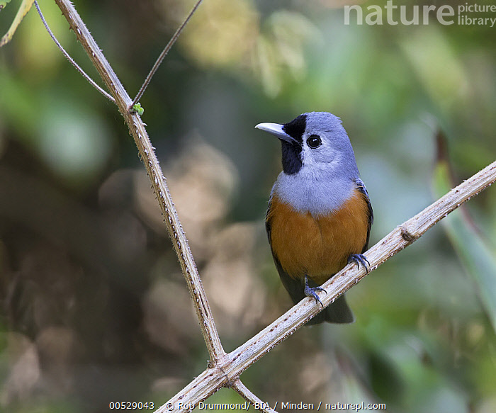 Black-faced Monarch (Monarcha melanopsis), Queensland, Australia  ,  Adult, Australia, Black-faced Monarch, Color Image, Day, Front View, Full Length, Horizontal, Monarcha melanopsis, Nobody, One Animal, Outdoors, Photography, Queensland, Songbird, Wildlife,Black-faced Monarch,Australia,Adult, Australia, Black-faced Monarch, Color Image, Day, Front View, Full Length, Horizontal, Monarcha melanopsis, Nobody, One Animal, Outdoors, Photography, Queensland, Songbird, Wildlife  ,  Rob Drummond