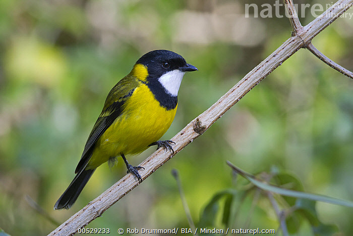 Golden Whistler (Pachycephala pectoralis), Queensland, Australia  ,  Adult, Australia, Color Image, Day, Full Length, Golden Whistler, Horizontal, Nobody, One Animal, Outdoors, Pachycephala pectoralis, Photography, Queensland, Side View, Songbird, Wildlife,Golden Whistler,Australia,Adult, Australia, Color Image, Day, Full Length, Golden Whistler, Horizontal, Nobody, One Animal, Outdoors, Pachycephala pectoralis, Photography, Queensland, Side View, Songbird, Wildlife  ,  Rob Drummond