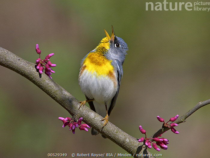 Northern Parula (Setophaga americana) singing male, Ohio  ,  Adult, Color Image, Day, Front View, Full Length, Horizontal, Male, Nobody, Northern Parula, Ohio, One Animal, Outdoors, Photography, Setophaga americana, Singing, Wildlife,Northern Parula,Ohio, USA,Adult, Color Image, Day, Front View, Full Length, Horizontal, Male, Nobody, Northern Parula, Ohio, One Animal, Outdoors, Photography, Setophaga americana, Singing, Wildlife  ,  Robert Royse