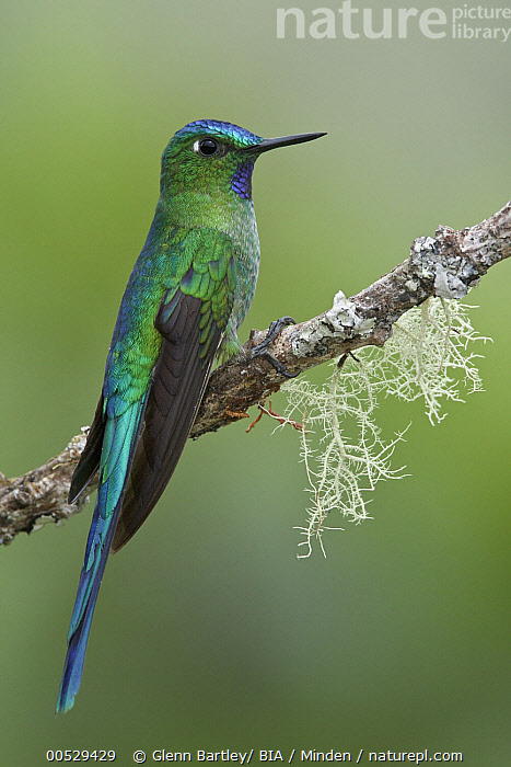 Long-tailed Sylph (Aglaiocercus kingi) male, Abra Patricia Protected Area, Peru  ,  Abra Patricia Protected Area, Adult, Aglaiocercus kingi, Color Image, Day, Full Length, Long-tailed Sylph, Male, Nobody, One Animal, Outdoors, Peru, Photography, Side View, Vertical, Wildlife,Long-tailed Sylph,Peru,Abra Patricia Protected Area, Adult, Aglaiocercus kingi, Color Image, Day, Full Length, Long-tailed Sylph, Male, Nobody, One Animal, Outdoors, Peru, Photography, Side View, Vertical, Wildlife  ,  Glenn Bartley