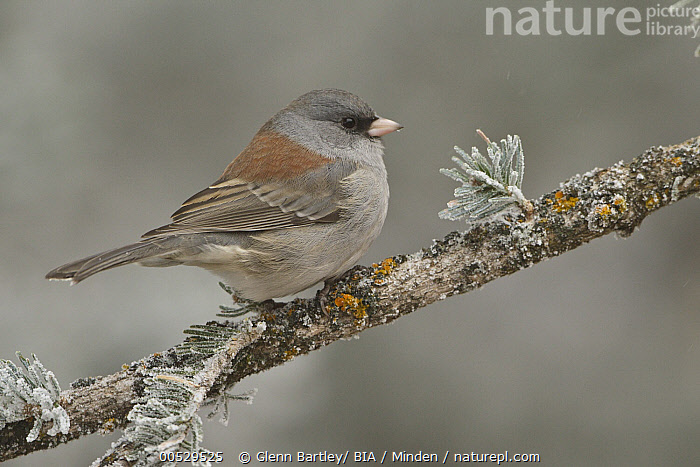 Grey-headed Junco (Junco hyemalis caniceps), New Mexico  ,  Adult, Color Image, Day, Full Length, Grey-headed Junco, Horizontal, Junco hyemalis caniceps, New Mexico, Nobody, One Animal, Outdoors, Photography, Side View, Songbird, Wildlife,Grey-headed Junco,New Mexico, USA,Adult, Color Image, Day, Full Length, Grey-headed Junco, Horizontal, Junco hyemalis caniceps, New Mexico, Nobody, One Animal, Outdoors, Photography, Side View, Songbird, Wildlife  ,  Glenn Bartley