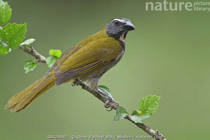 Buff-throated Saltator (Saltator maximus), Costa Rica  ,  Adult, Buff-throated Saltator, Color Image, Costa Rica, Day, Full Length, Horizontal, Nobody, One Animal, Outdoors, Photography, Saltator maximus, Side View, Songbird, Wildlife,Buff-throated Saltator,Costa Rica  ,  Glenn Bartley