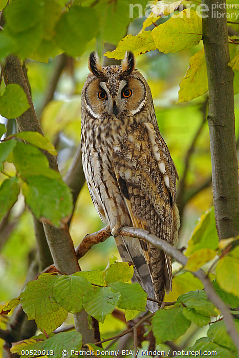 Long-eared Owl (Asio otus), Solothurn, Switzerland  ,  Adult, Asio otus, Color Image, Day, Full Length, Looking at Camera, Long-eared Owl, Nobody, One Animal, Outdoors, Owl, Photography, Raptor, Side View, Solothurn, Switzerland, Vertical, Wildlife,Long-eared Owl,Switzerland  ,  Patrick Donini