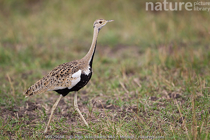 Black-bellied Bustard (Lissotis melanogaster), Masai Mara, Kenya  ,  Adult, Black-bellied Bustard, Color Image, Day, Full Length, Horizontal, Kenya, Lissotis melanogaster, Masai Mara, Nobody, One Animal, Outdoors, Photography, Side View, Walking, Wildlife,Black-bellied Bustard,Kenya  ,  Ingo Waschkies