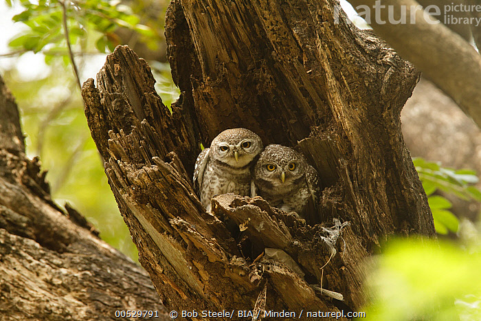 Spotted Owlet (Athene brama) pair in tree trunk, Bangkok, Thailand  ,  Adult, Athene brama, Color Image, Day, Front View, Full Length, Horizontal, Looking at Camera, Nest Hole, Nobody, Outdoors, Owl, Photography, Raptor, Spotted Owlet, Thailand, Togetherness, Tree Trunk, Two Animals, Wildlife,Spotted Owlet,Thailand,Adult, Athene brama, Color Image, Day, Front View, Full Length, Horizontal, Looking at Camera, Nest Hole, Nobody, Outdoors, Owl, Photography, Raptor, Spotted Owlet, Thailand, Togetherness, Tree Trunk, Two Animals, Wildlife  ,  Bob Steele