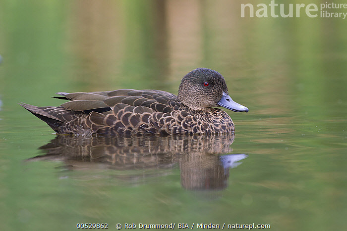 Chestnut Teal (Anas castanea) female, Victoria, Australia  ,  Adult, Anas castanea, Australia, Chestnut Teal, Color Image, Day, Female, Full Length, Horizontal, Nobody, One Animal, Outdoors, Photography, Side View, Victoria, Waterfowl, Wildlife,Chestnut Teal,Australia,Adult, Anas castanea, Australia, Chestnut Teal, Color Image, Day, Female, Full Length, Horizontal, Nobody, One Animal, Outdoors, Photography, Side View, Victoria, Waterfowl, Wildlife  ,  Rob Drummond