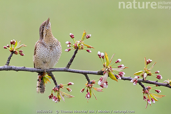 Eurasian Wryneck (Jynx torquilla), Saxony-Anhalt, Germany  ,  Adult, Color Image, Day, Eurasian Wryneck, Front View, Full Length, Germany, Horizontal, Jynx torquilla, Nobody, One Animal, Outdoors, Photography, Saxony-Anhalt, Wildlife,Eurasian Wryneck,Germany,Adult, Color Image, Day, Eurasian Wryneck, Front View, Full Length, Germany, Horizontal, Jynx torquilla, Nobody, One Animal, Outdoors, Photography, Saxony-Anhalt, Wildlife  ,  Thomas Hinsche
