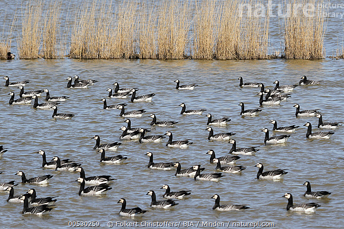 Barnacle Goose (Branta leucopsis) flock, Lower Saxony, Germany  ,  Adult, Barnacle Goose, Branta leucopsis, Color Image, Day, Flock, Full Length, Germany, Horizontal, Large Group of Animals, Lower Saxony, Nobody, Outdoors, Photography, Side View, Waterfowl, Wildlife,Barnacle Goose,Germany  ,  Folkert Christoffers