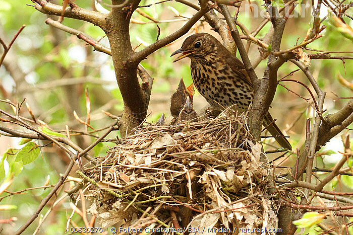 Song Thrush (Turdus philomelos) feeding begging chick at nest, Lower Saxony, Germany  ,  Adult, Begging, Chick, Color Image, Day, Full Length, Germany, Horizontal, Lower Saxony, Nest, Nobody, Outdoors, Photography, Side View, Song Thrush, Songbird, Togetherness, Turdus philomelos, Two Animals, Wildlife,Song Thrush,Germany  ,  Folkert Christoffers