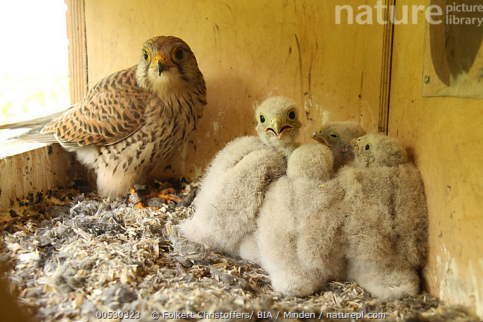Eurasian Kestrel (Falco tinnunculus) parent and chicks, Lower Saxony, Germany  ,  Adult, Baby, Chick, Color Image, Day, Eurasian Kestrel, Falco tinnunculus, Five Animals, Full Length, Germany, Horizontal, Looking at Camera, Lower Saxony, Nest Box, Nobody, Outdoors, Parent, Photography, Raptor, Rear View, Side View, Togetherness, Wildlife,Eurasian Kestrel,Germany  ,  Folkert Christoffers