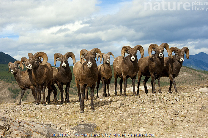 Bighorn Sheep (Ovis canadensis) rams in a line with one standing out front, North America, Adult, Bighorn Sheep, Color Image, Day, Front View, Full Length, Horizontal, Individuality, Leadership, Line, Looking at Camera, Male, Medium Group of Animals, Nobody, North America, Outdoors, Ovis canadensis, Photography, Ram, Repetition, Row, Togetherness, Wildlife,Bighorn Sheep,North America, Mark Raycroft