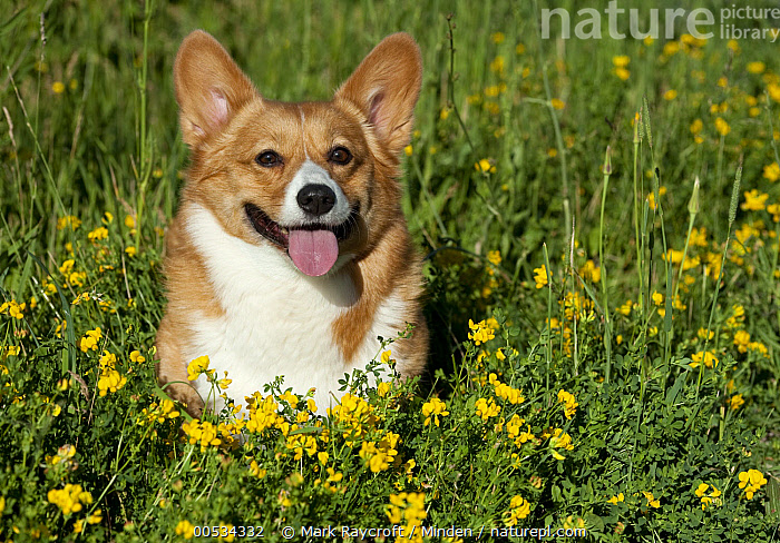 Pembroke Welsh Corgi (Canis familiaris) panting  ,  Adult, Color Image, Cute, Day, Domestic Animal, Domesticated, Front View, Herding Dog, Horizontal, Looking at Camera, Nobody, One Animal, Outdoors, Panting, Pembroke Welsh Corgi, Pet, Photography, Waist Up, Welsh Corgi,Pembroke Welsh Corgi,Adult, Color Image, Cute, Day, Domestic Animal, Domesticated, Front View, Herding Dog, Horizontal, Looking at Camera, Nobody, One Animal, Outdoors, Panting, Pembroke Welsh Corgi, Pet, Photography, Waist Up, Welsh Corgi  ,  Mark Raycroft