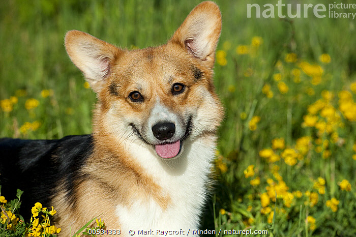 Pembroke Welsh Corgi (Canis familiaris)  ,  Adult, Color Image, Day, Domestic Animal, Domesticated, Head and Shoulders, Herding Dog, Horizontal, Looking at Camera, Nobody, One Animal, Outdoors, Panting, Pembroke Welsh Corgi, Pet, Photography, Portrait, Side View, Welsh Corgi,Pembroke Welsh Corgi,Adult, Color Image, Day, Domestic Animal, Domesticated, Head and Shoulders, Herding Dog, Horizontal, Looking at Camera, Nobody, One Animal, Outdoors, Panting, Pembroke Welsh Corgi, Pet, Photography, Portrait, Side View, Welsh Corgi  ,  Mark Raycroft
