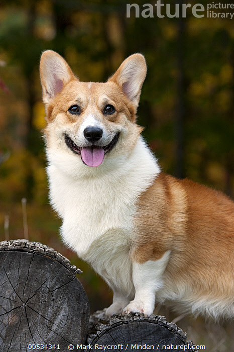 Pembroke Welsh Corgi (Canis familiaris)  ,  Adult, Alert, Color Image, Day, Domestic Animal, Domesticated, Herding Dog, Looking at Camera, Nobody, One Animal, Outdoors, Panting, Pembroke Welsh Corgi, Pet, Photography, Portrait, Side View, Vertical, Waist Up,Pembroke Welsh Corgi,Adult, Alert, Color Image, Day, Domestic Animal, Domesticated, Herding Dog, Looking at Camera, Nobody, One Animal, Outdoors, Panting, Pembroke Welsh Corgi, Pet, Photography, Portrait, Side View, Vertical, Waist Up  ,  Mark Raycroft