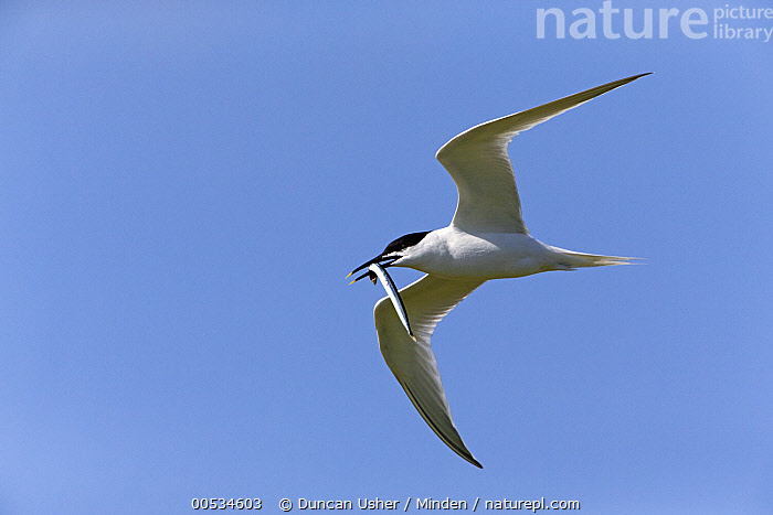 Sandwich Tern (Thalasseus sandvicensis) flying with sand eel in beak, Texel, Holland  ,  Adult, Carrying, Color Image, Day, Fish, Flying, Full Length, Holland, Horizontal, Motion, Nobody, One Animal, Outdoors, Photography, Prey, Sandwich Tern, Seabird, Texel, Thalasseus sandvicensis, Underside, Wildlife,Sandwich Tern,Holland,Adult, Carrying, Color Image, Day, Fish, Flying, Full Length, Holland, Horizontal, Motion, Nobody, One Animal, Outdoors, Photography, Prey, Sandwich Tern, Seabird, Texel, Thalasseus sandvicensis, Underside, Wildlife  ,  Duncan Usher