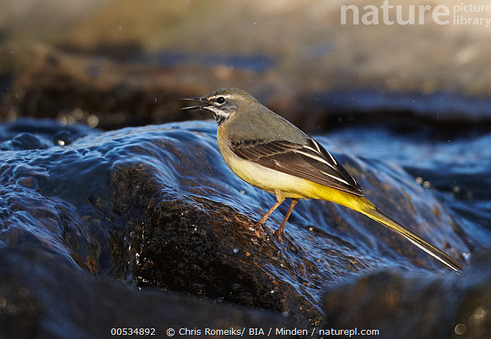 Grey Wagtail (Motacilla cinerea) male calling in stream, Germany, Adult, Calling, Color Image, Day, Full Length, Germany, Grey Wagtail, Horizontal, Male, Motacilla cinerea, Nobody, One Animal, Open Mouth, Outdoors, Photography, Side View, Songbird, Stream, Wildlife,Grey Wagtail,Germany, Chris Romeiks