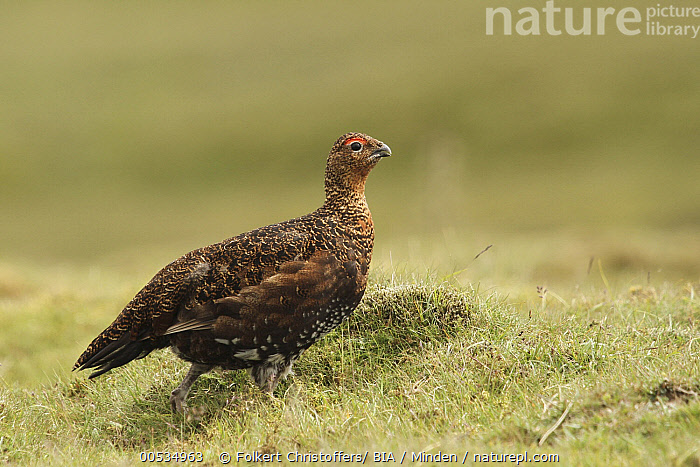 Red Grouse (Lagopus scoticus), Yorkshire, England  ,  Adult, Color Image, Day, England, Full Length, Gamebird, Horizontal, Lagopus scoticus, Nobody, One Animal, Outdoors, Photography, Red Grouse, Side View, Wildlife, Yorkshire,Red Grouse,England  ,  Folkert Christoffers