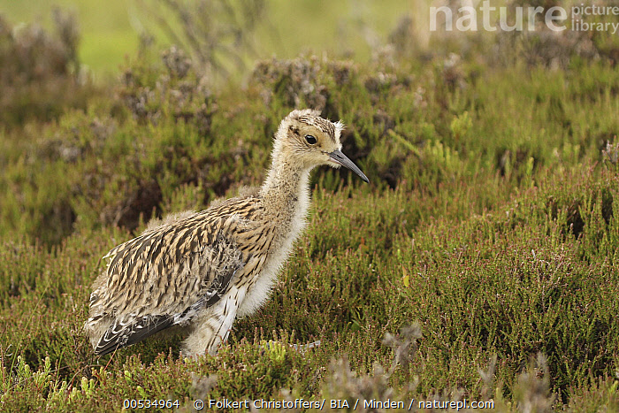 Eurasian Curlew (Numenius arquata) chick, Yorkshire, England  ,  Baby, Chick, Color Image, Day, England, Eurasian Curlew, Full Length, Horizontal, Nobody, Numenius arquata, One Animal, Outdoors, Photography, Shorebird, Side View, Wildlife, Yorkshire,Eurasian Curlew,England  ,  Folkert Christoffers