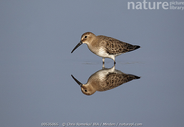 Dunlin (Calidris alpina) in water, Germany, Adult, Calidris alpina, Color Image, Day, Dunlin, Full Length, Germany, Horizontal, Nobody, One Animal, Outdoors, Photography, Reflection, Shorebird, Side View, Wildlife,Dunlin,Germany, Chris Romeiks