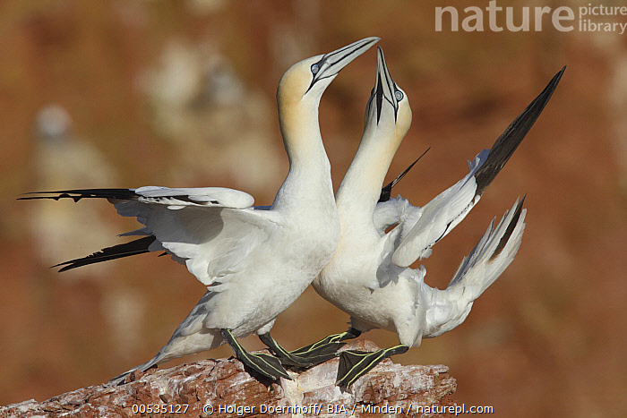 Northern Gannet (Morus bassanus) pair courting, Germany  ,  Color Image, Courting, Courtship Display, Day, Displaying, Female, Full Length, Germany, Horizontal, Male, Morus bassanus, Nobody, Northern Gannet, Outdoors, Photography, Seabird, Side View, Togetherness, Two Animals, Wildlife,Northern Gannet,Germany,Color Image, Courting, Courtship Display, Day, Displaying, Female, Full Length, Germany, Horizontal, Male, Morus bassanus, Nobody, Northern Gannet, Outdoors, Photography, Seabird, Side View, Togetherness, Two Animals, Wildlife  ,  Holger Doernhoff