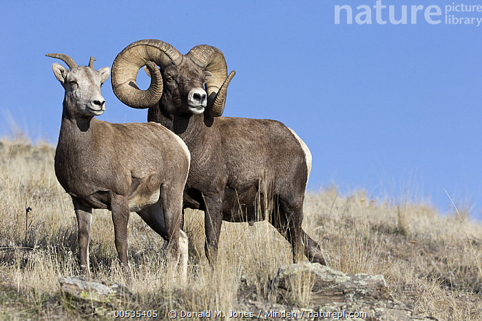 Bighorn Sheep (Ovis canadensis) ram and ewe during rut, Montana, Adult, Bighorn Sheep, Color Image, Day, Dimorphic, Female, Friendship, Full Length, Horizontal, Male, Montana, Nobody, Outdoors, Ovis canadensis, Photography, Rut, Sexual Dimorphism, Side View, Togetherness, Two Animals, Wildlife,Bighorn Sheep,Montana, USA, Donald M. Jones