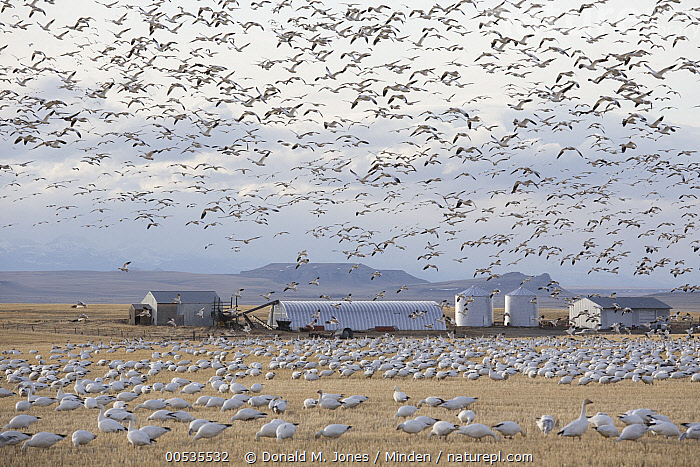 Snow Goose (Chen caerulescens) flock flying and feeding in Two-rowed Barley (Hordeum vulgare) field, Montana, Adult, Agricultural, Building, Chen caerulescens, Color Image, Day, Feeding, Flock, Flying, Full Length, Hordeum vulgare, Horizontal, Landscape, Large Group of Animals, Migrating, Migration, Montana, Nobody, Outdoors, Photography, Side View, Silo, Snow Goose, Two-rowed Barley, Wildlife,Snow Goose,Two-rowed Barley,Hordeum vulgare,Montana, USA, Donald M. Jones