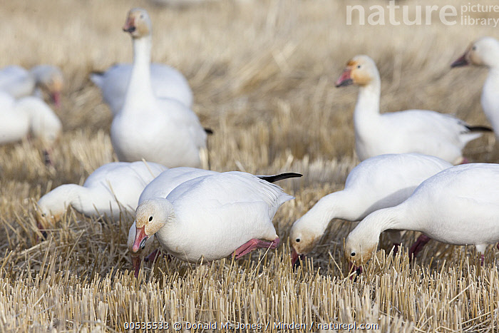 Snow Goose (Chen caerulescens) flock feeding in Two-rowed Barley (Hordeum vulgare) field during migration, Montana, Adult, Agricultural, Chen caerulescens, Color Image, Crop, Day, Feeding, Flock, Full Length, Hordeum vulgare, Horizontal, Medium Group of Animals, Migration, Montana, Nobody, Outdoors, Photography, Side View, Snow Goose, Two-rowed Barley, Wildlife,Snow Goose,Two-rowed Barley,Hordeum vulgare,Montana, USA, Donald M. Jones