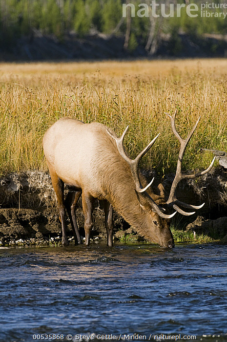 Elk (Cervus elaphus) bull drinking, Yellowstone National Pa rk, Wyoming  ,  Adult, Bull, Cervus elaphus, Color Image, Day, Drinking, Elk, Full Length, Male, Nobody, North America, One Animal, Outdoors, Photography, River, Side View, Vertical, Wildlife, Wyoming, Yellowstone National Park,Elk,Wyoming, USA  ,  Steve Gettle