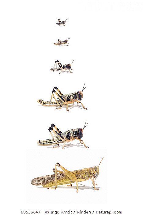 Desert Locust (Schistocerca gregaria) life stages from larva through stages L1 to L5, Africa  ,  Adult, Africa, Color Image, Comparison, Cut Out, Day, Desert Locust, Digital Composite, Full Length, Instar, Larva, Life Cycle, Medium Group of Animals, Nobody, Outdoors, Photography, Schistocerca gregaria, Side View, Studio, Vertical, White Background, Wildlife,Desert Locust,Africa  ,  Ingo Arndt
