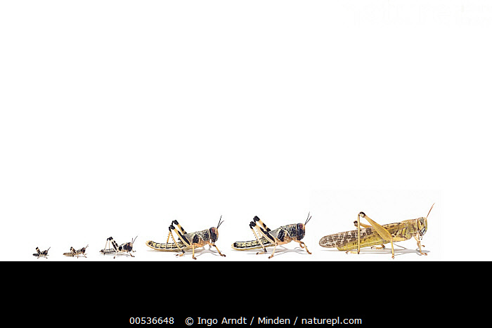 Desert Locust (Schistocerca gregaria) life stages from larva through stages L1 to L5, Africa  ,  Adult, Africa, Color Image, Comparison, Cut Out, Day, Desert Locust, Digital Composite, Full Length, Horizontal, Instar, Larva, Life Cycle, Medium Group of Animals, Nobody, Outdoors, Photography, Schistocerca gregaria, Side View, Studio, White Background, Wildlife,Desert Locust,Africa,Adult, Africa, Color Image, Comparison, Cut Out, Day, Desert Locust, Digital Composite, Full Length, Horizontal, Instar, Larva, Life Cycle, Medium Group of Animals, Nobody, Outdoors, Photography, Schistocerca gregaria, Side View, Studio, White Background, Wildlife  ,  Ingo Arndt