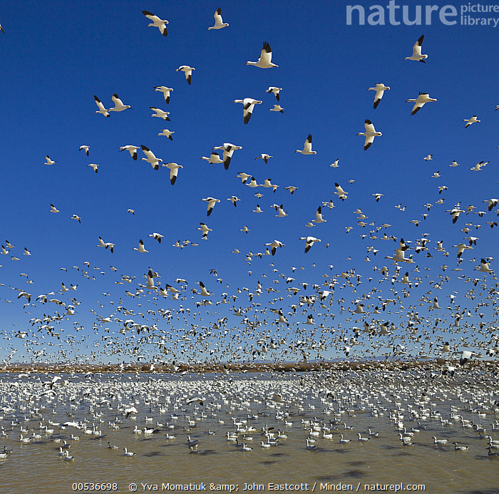 Snow Goose (Chen caerulescens) flock taking flight from pond, Bosque del Apache National Wildlife Refuge, New Mexico, Adult, Bosque del Apache National Wildlife Refuge, Chen caerulescens, Color Image, Day, Flock, Flying, Full Length, Horizon, Large Group of Animals, New Mexico, Nobody, Outdoors, Photography, Pond, Side View, Snow Goose, Square, Taking Flight, Waterfowl, Wildlife,Snow Goose,New Mexico, USA, Yva Momatiuk & John Eastcott