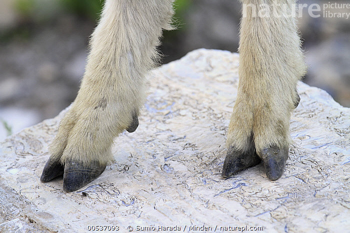 Mountain Goat (Oreamnos americanus) cloven hooves showing dewclaw used for climbing, Glacier National Park, Montana  ,  Close Up, Color Image, Day, Detail, Feet, Glacier National Park, Hoof, Horizontal, Montana, Mountain Goat, Nobody, One Animal, Oreamnos americanus, Outdoors, Photography, Side View, Wildlife,Mountain Goat,Montana, USA  ,  Sumio Harada