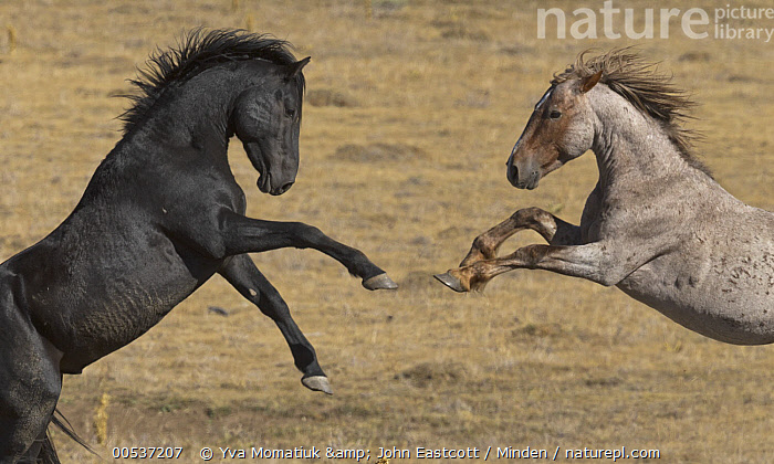 Wild Horse (Equus caballus) stallions play fighting, Pryor Mountain Wild Horse Range, Montana, Adult, Color Image, Competition, Day, Equus caballus, Fighting, Horizontal, Male, Montana, Motion, Mustang,Nobody, Outdoors, Photography, Play Fighting, Playing, Pryor Mountain Wild Horse Range, Side View, Stallion, Two Animals, Waist Up, Wild Horse, Wildlife,Wild Horse, , ,Montana, USA, Yva Momatiuk & John Eastcott